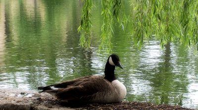 Goose9