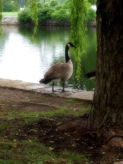 Goose7